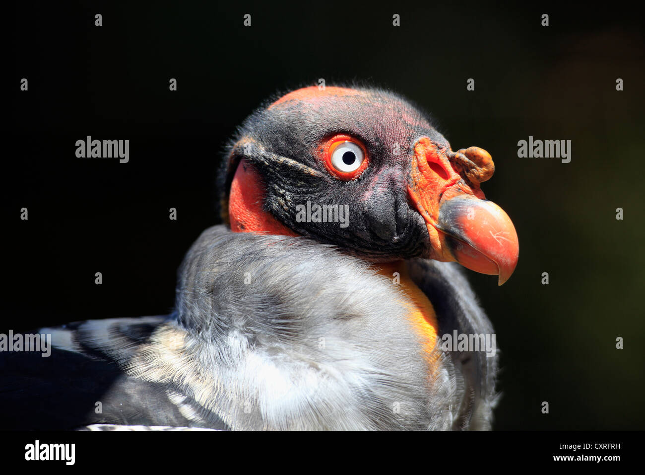 King Vulture (Sarcoramphus papa), adult, portrait, Cape Town, South Africa, Africa - Stock Image