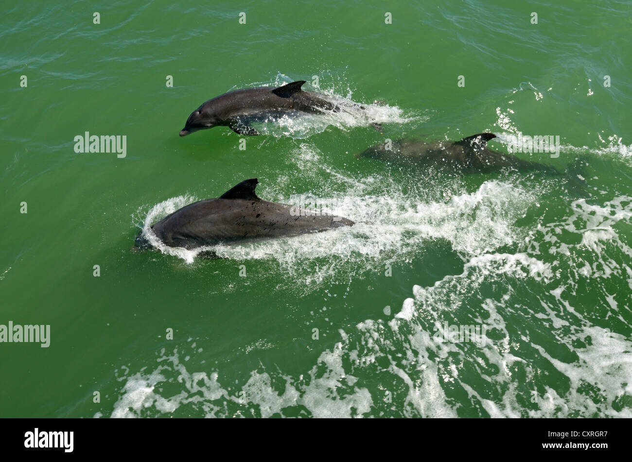 Dolphins viewed during a boat trip off Captiva Island, Sanibel Island, Florida, USA Stock Photo