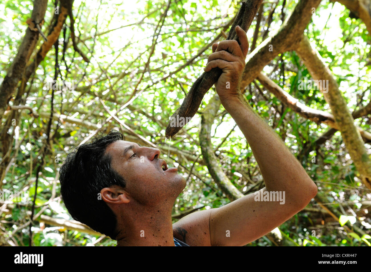 Man in the jungle drinking water from a Milky Wine tree, Moorea, Windward Islands, Society Islands, French Polynesia - Stock Image