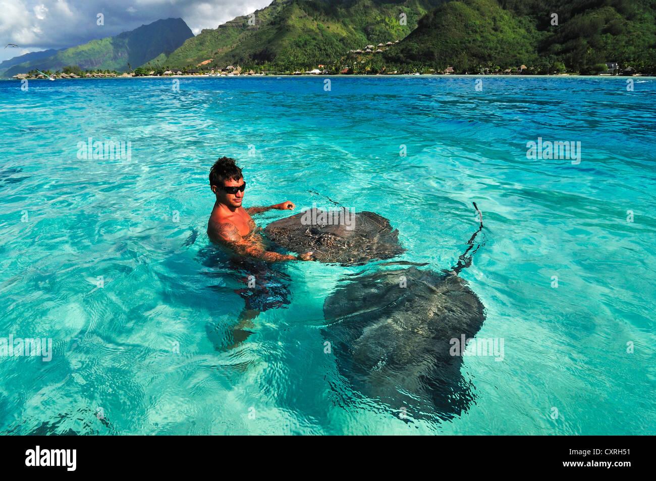 Man swimming with stingrays (Dasyatis sp.), Stingray World, Hauru Point Moorea, Windward Islands, Society Islands - Stock Image
