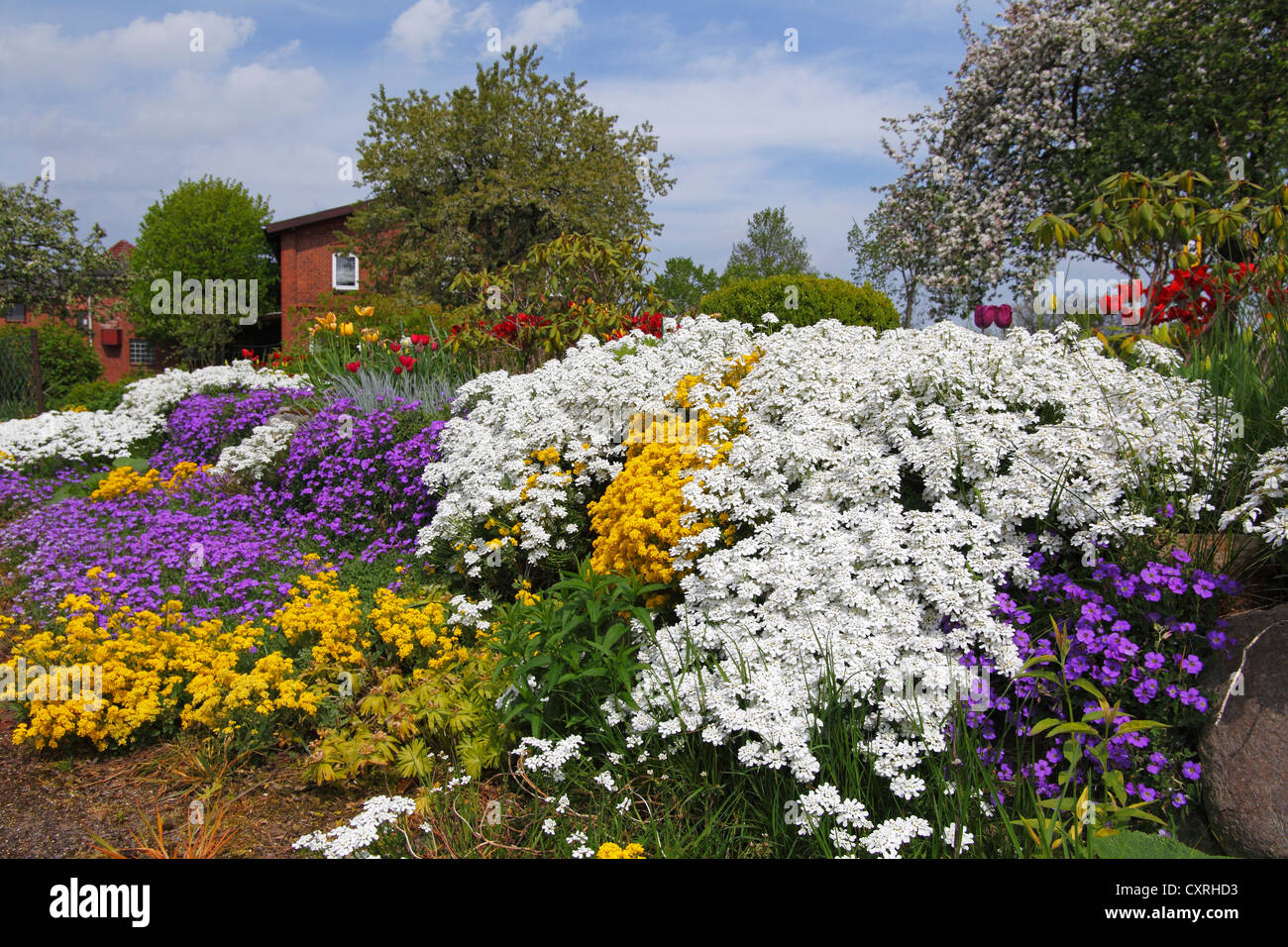 Rural garden in the spring with herbaceous plants like white Evergreen Candytuft (Iberis sempervirens), yellow Basket - Stock Image