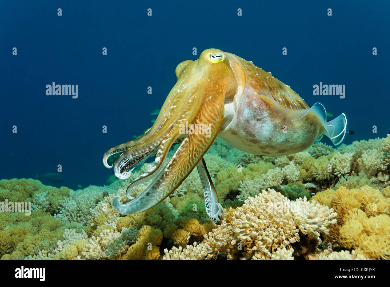 Broadclub cuttlefish (Sepia latimanus) swimming over coral reef, reef top, Great Barrier Reef, a UNESCO World Heritage - Stock Image