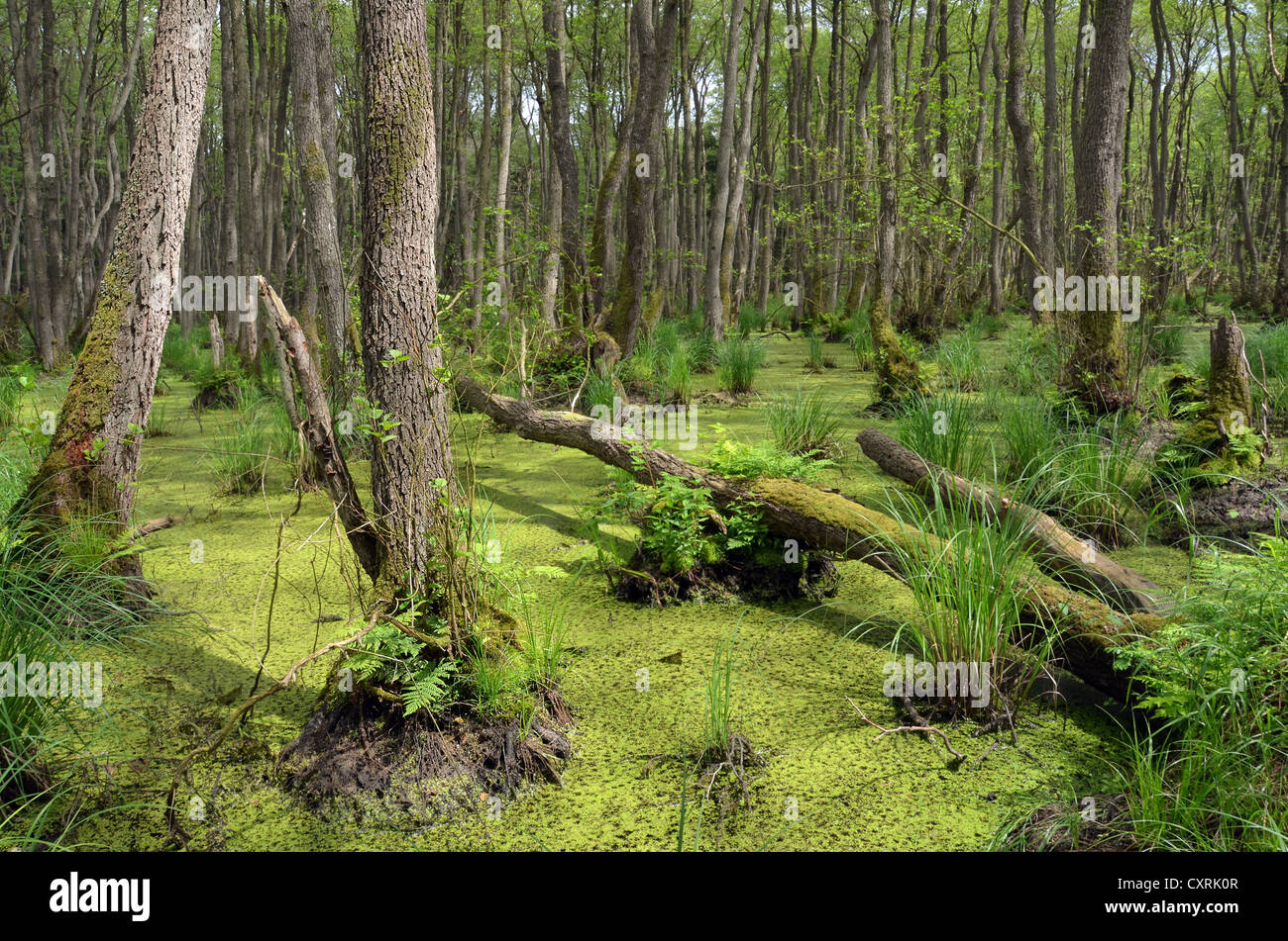 Swamp with a forest of Alder trees (Alnus glutinosa), Western Pomerania Lagoon Area National Park, Darss, Baltic - Stock Image
