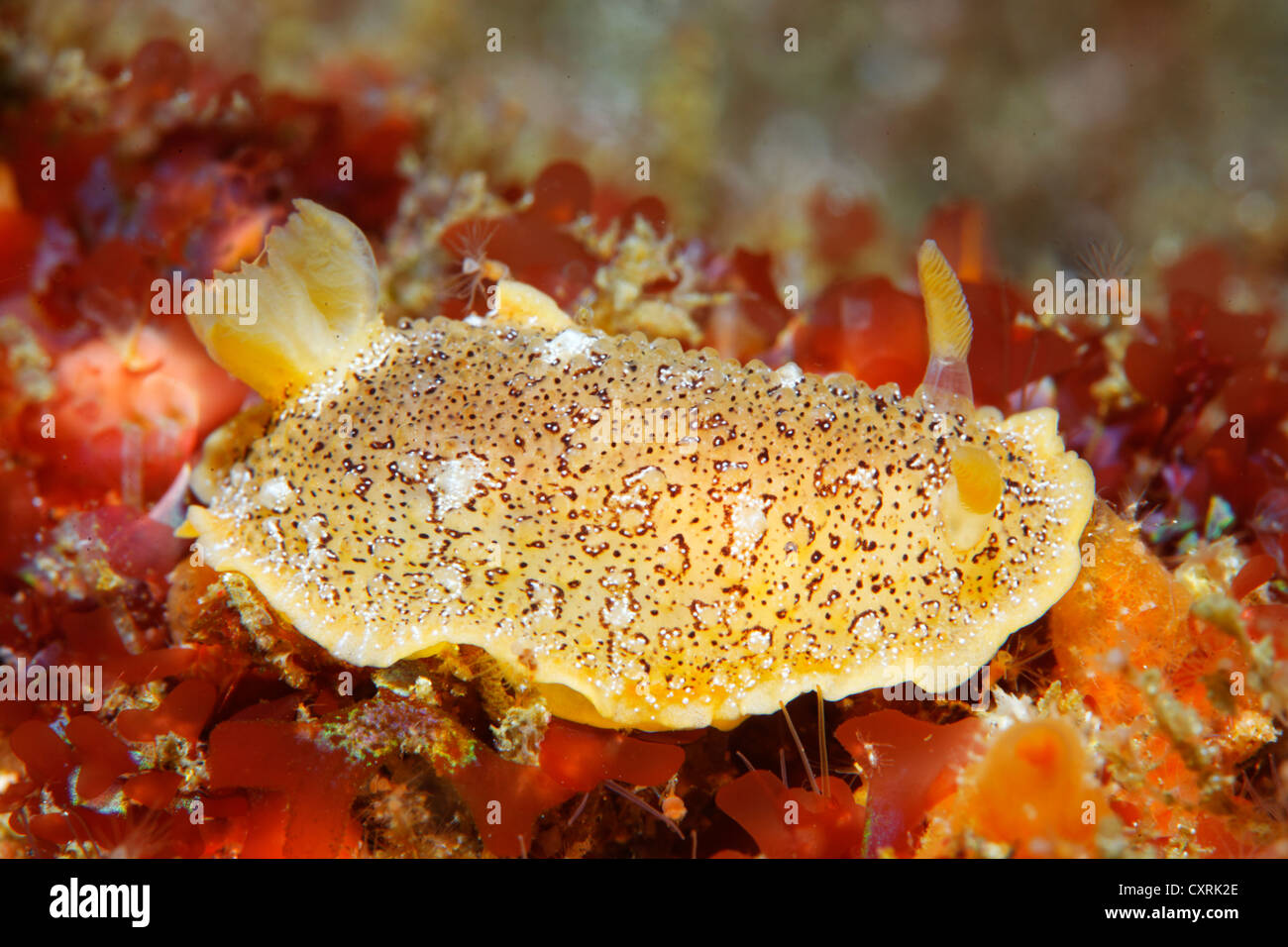 Unidentified nudibranch (Nudibranchia), Ponta de Sao Vicente, Isabella Island, Albemarle, Galapagos Islands, a UNESCO - Stock Image