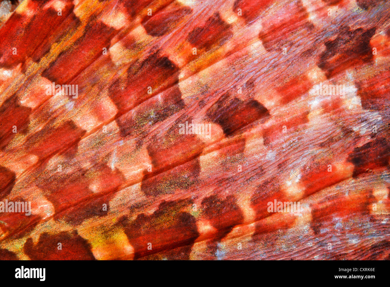 Pacific spotted scorpionfish (Scorpaena plumieri mystes), detailed view of the pectoral fin, Ponta de Sao Vicente, - Stock Image