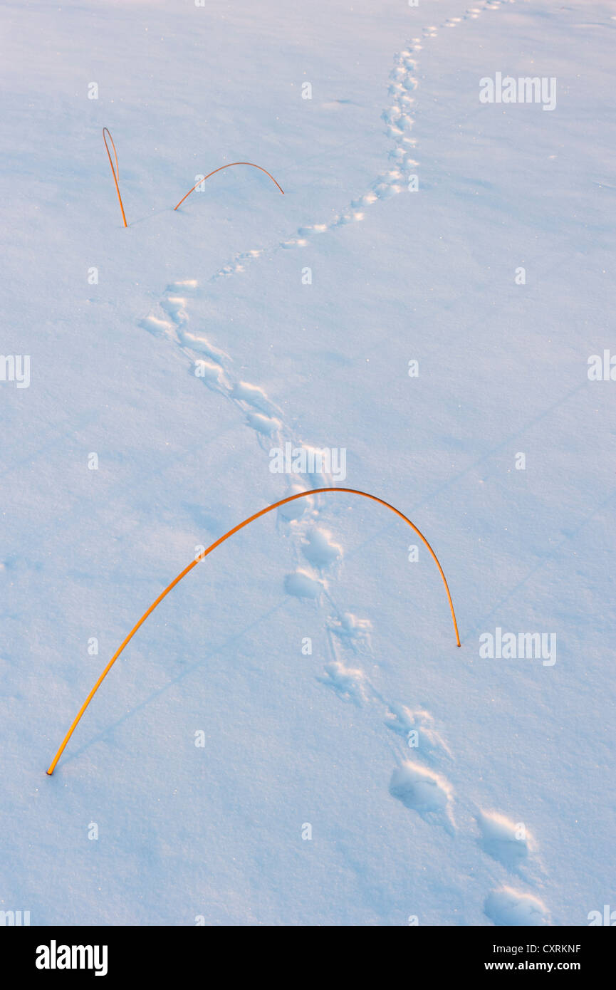 Animal tracks pass below grass frozen in snow-covered lake, Northwest Territories, CANADA - Stock Image