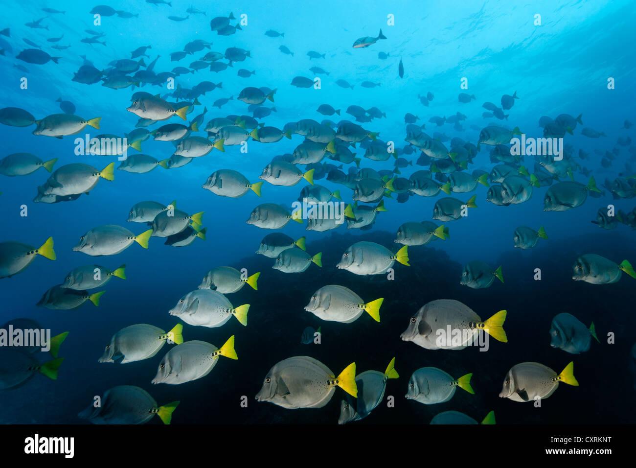 Razor surgeonfish (Prionurus laticlavius), San Benedicto Island, near Socorro, Revillagigedo Islands, archipelago, - Stock Image