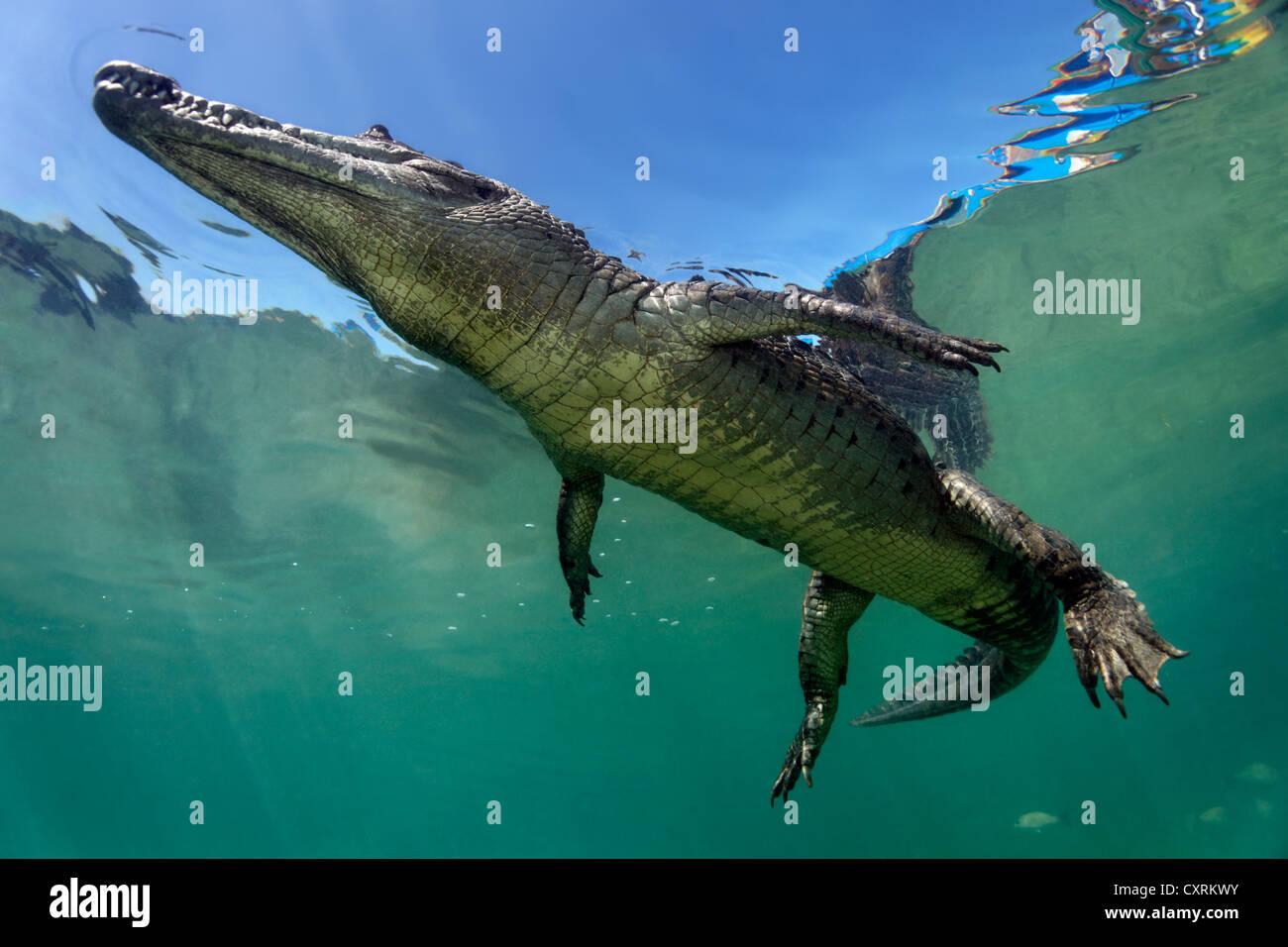 Saltwater Crocodile or Estuarine Crocodile or Indo-Pacific Crocodile (Crocodylus porosus), underwater, swimming Stock Photo
