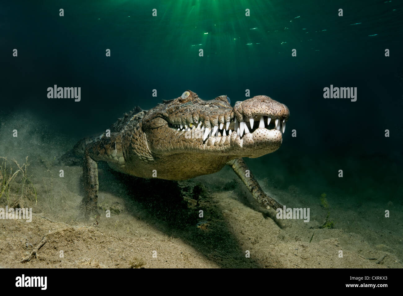 Saltwater Crocodile or Estuarine Crocodile or Indo-Pacific Crocodile (Crocodylus porosus), underwater, head-on - Stock Image