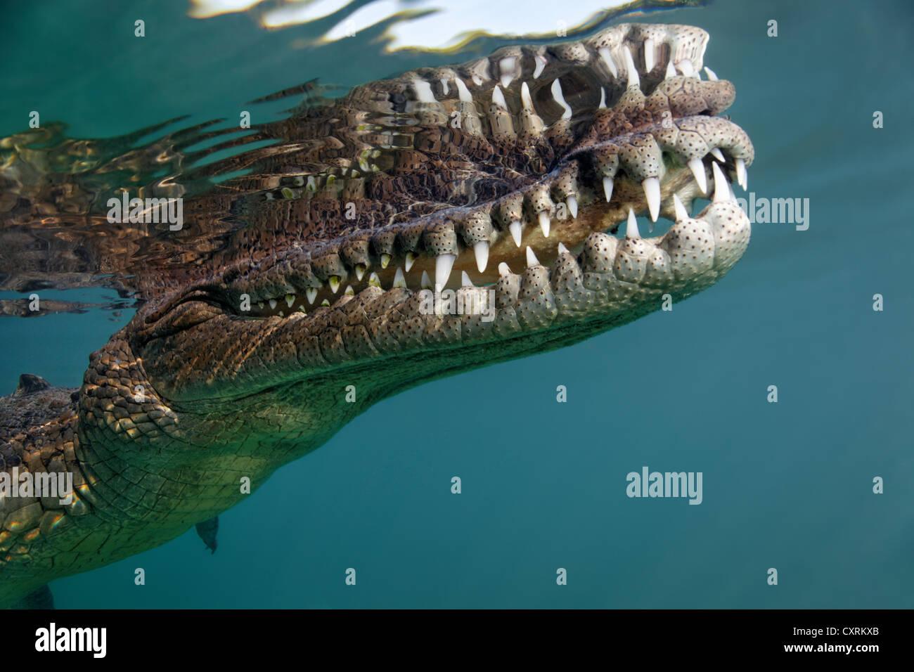 Saltwater Crocodile or Estuarine Crocodile or Indo-Pacific Crocodile (Crocodylus porosus), head, mouth, set of teeth, - Stock Image
