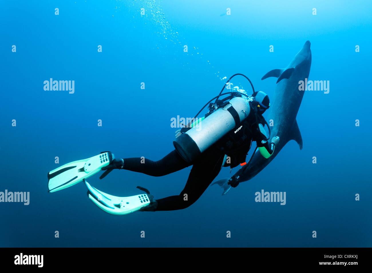 Suba diver watching a Bottlenose Dolphin (Tursiops truncatus), Roca Partida, Revillagigedo Islands, Mexico, America - Stock Image