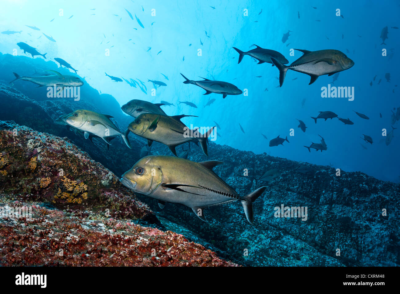 Shoal of Black Jacks or Black Trevallies (Caranx lugubris) hunting at a rocky reef, Roca Partida, Revillagigedo Islands, Mexico Stock Photo