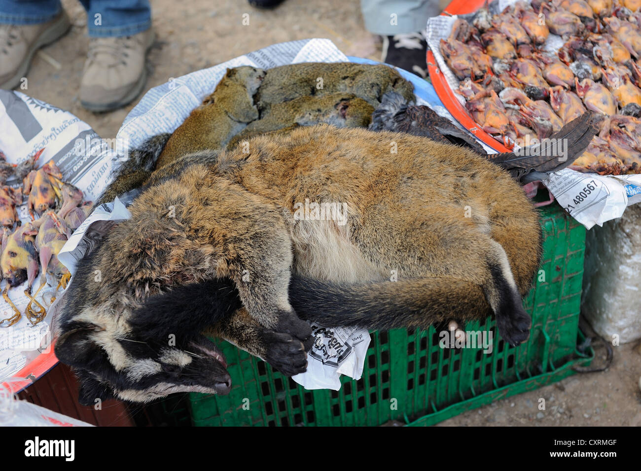 Chinese ferret-badger (Melogale moschata), rodents and songbirds are sold at the market as meat, town of Phansavan, - Stock Image