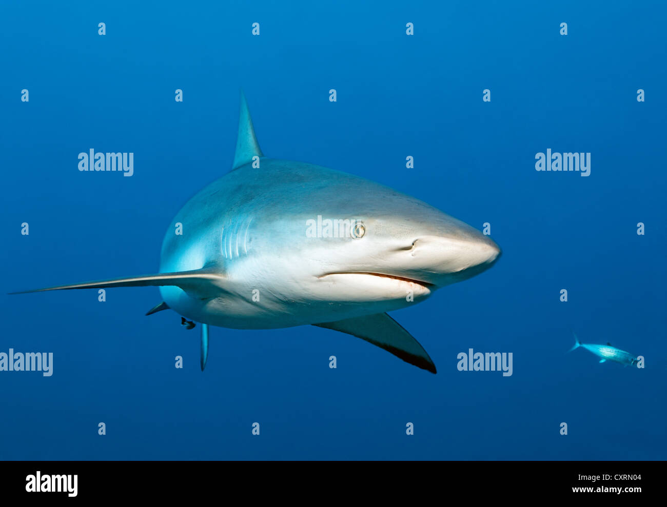 Caribbean reef shark (Carcharhinus perezi), swimming in open water, Republic of Cuba, Caribbean, Central America - Stock Image