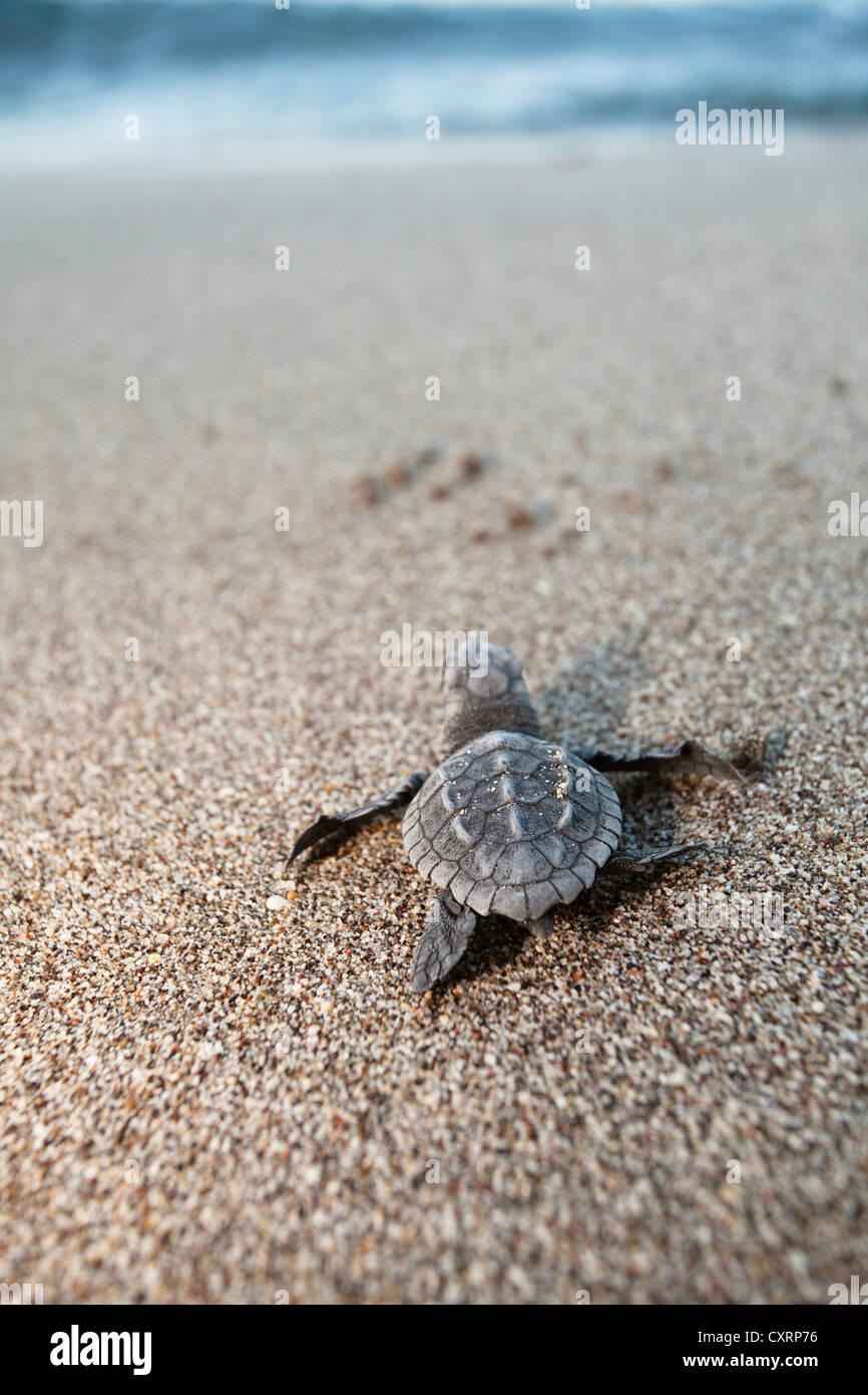 Loggerhead Sea Turtle (Caretta caretta), hatchling making its way to the sea, Lycian Coast, Turkey, Mediterranean, - Stock Image