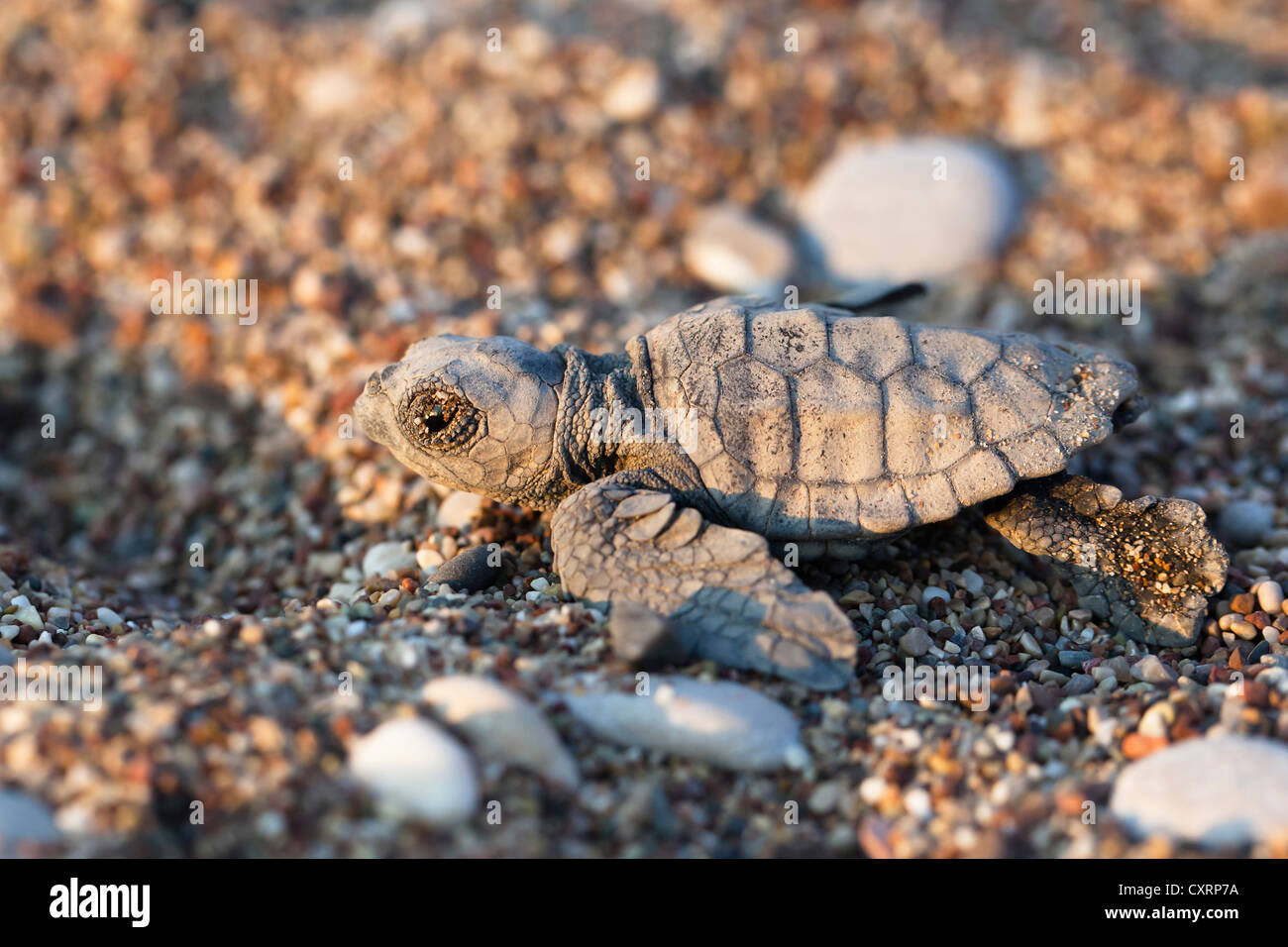 Loggerhead Sea Turtle (Caretta caretta), hatchling, Lycian Coast, Turkey, Mediterranean, Asia Minor - Stock Image