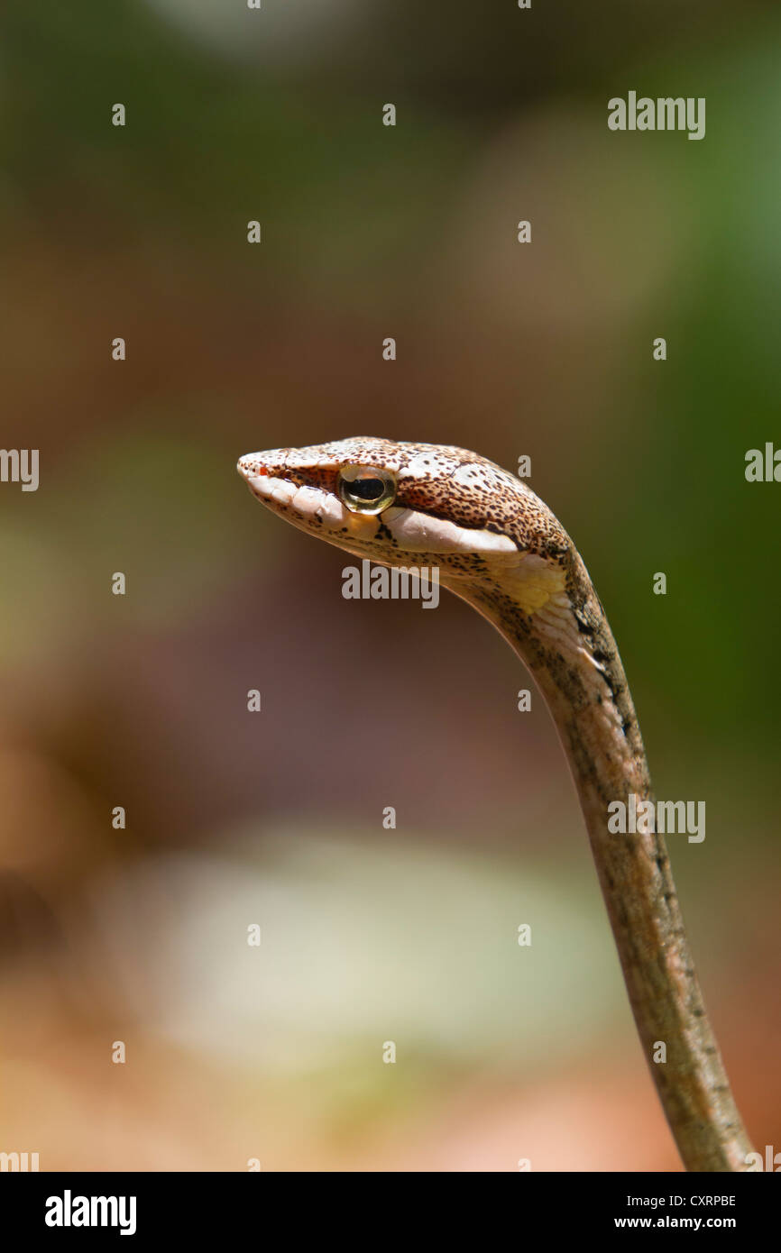 Twig or Bird Snake (Thelotornis capensis), on rainforest floor, Mahale Mountains National Park, Tanzania, East Africa, - Stock Image