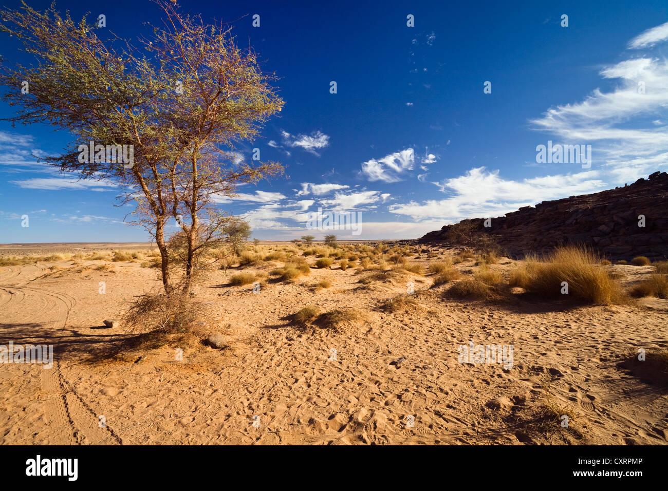 Acacia (Acacia sp.) in a stony desert, Libya, Africa - Stock Image