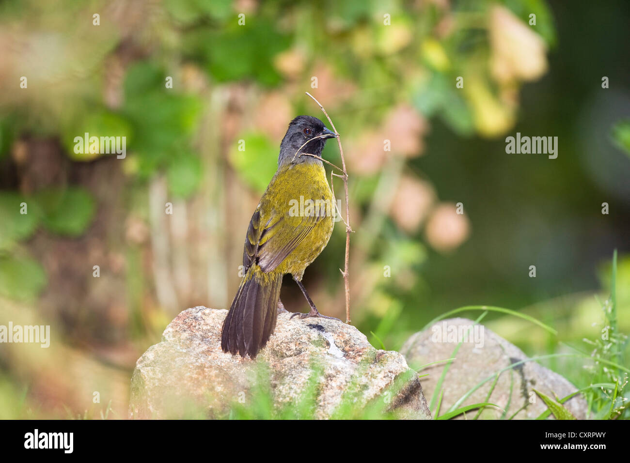 Large-footed Finch (Pezopetes capitalis) with nisting material, Cerro de la Muerte, Costa Rica, Central America - Stock Image
