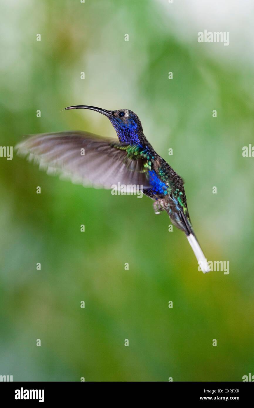 Hummingbird, Violet Sabrewing (Campylopterus hemileucurus), hovering, Costa Rica, Central America Stock Photo