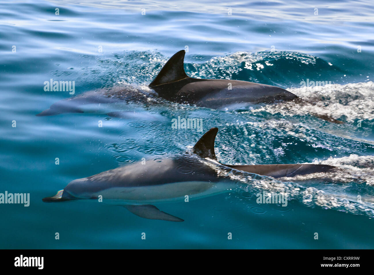 Short-beaked common dolphins (Delphinus delphis), Atlantic, off the Algarve, Portugal, Europe - Stock Image