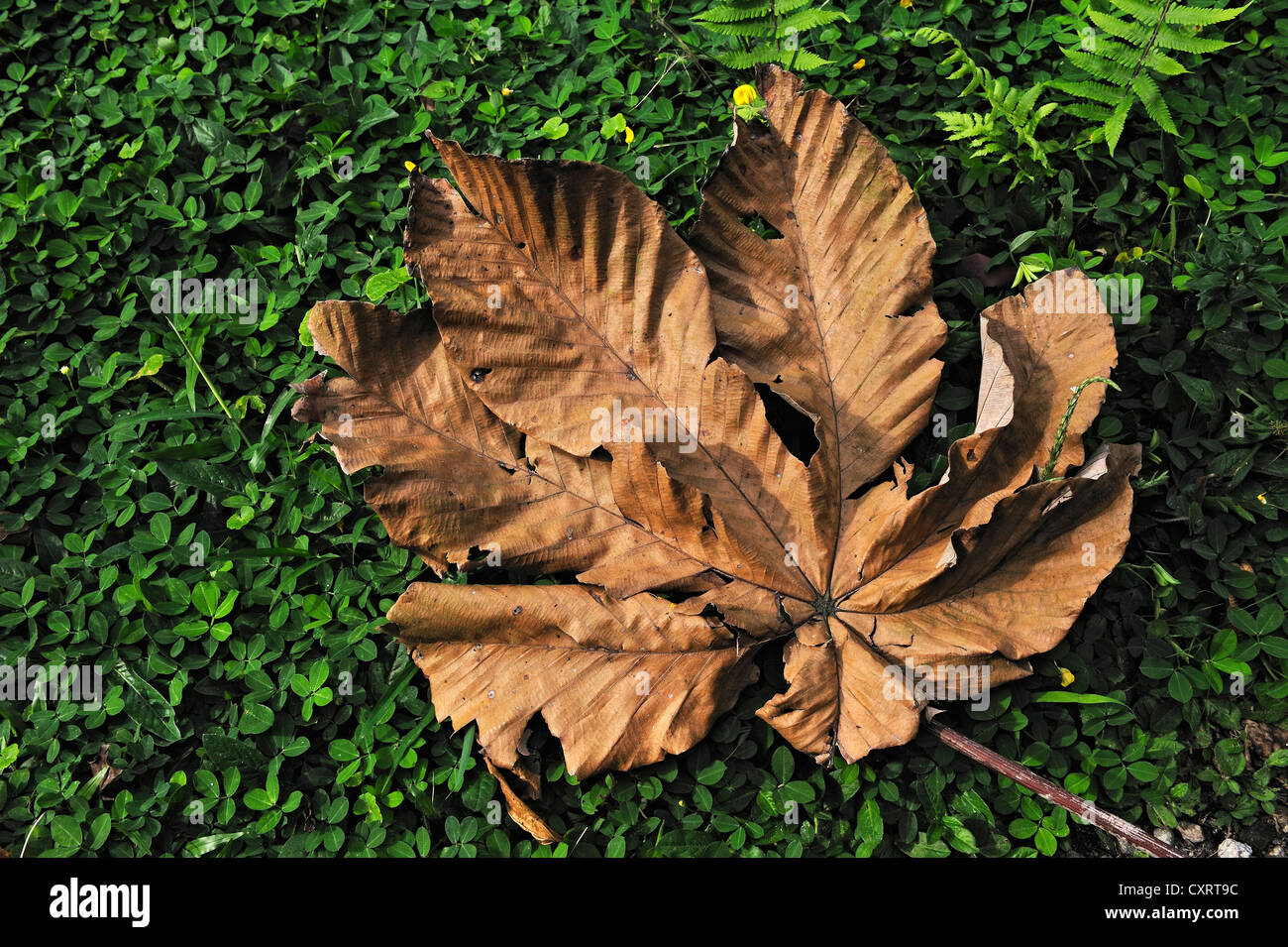 Withered leaf, Alajuela Province, Costa Rica, Central America - Stock Image