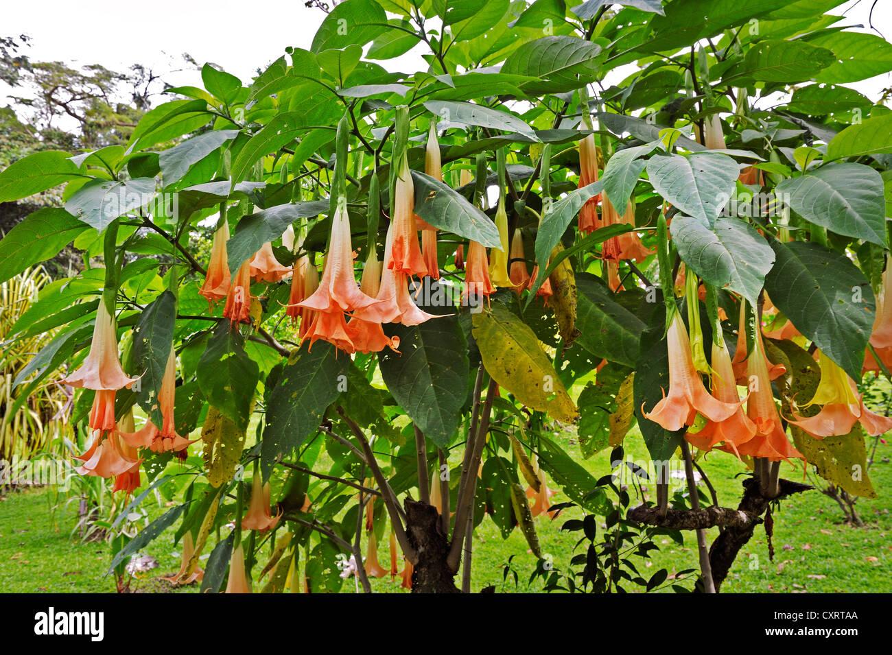 Trumpet Creeper (Campsis), Alajuela Province, Costa Rica, Central America - Stock Image