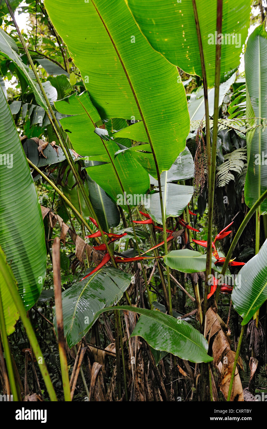Lobster-claws, wild plantains (Heliconia), cloud forest, Selvatura Park, Monteverde, province of Alajuela, Costa - Stock Image