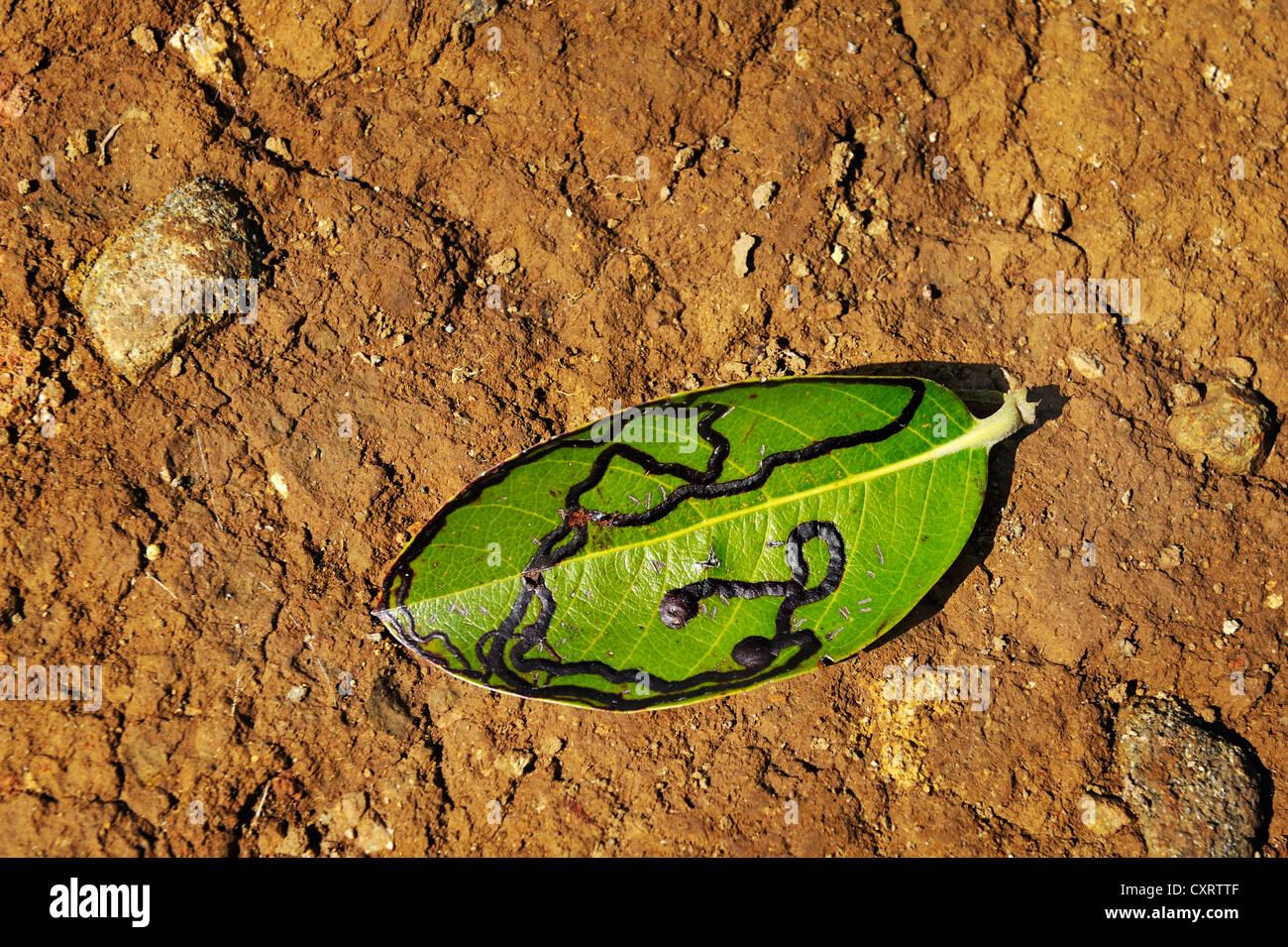 Leaf infested by a pest, Guanacaste province, Rincon de la Vieja National Park, Costa Rica, Central America - Stock Image