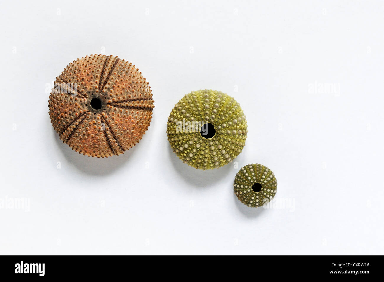 Sea urchin skeletons from the Mediterranean - Stock Image