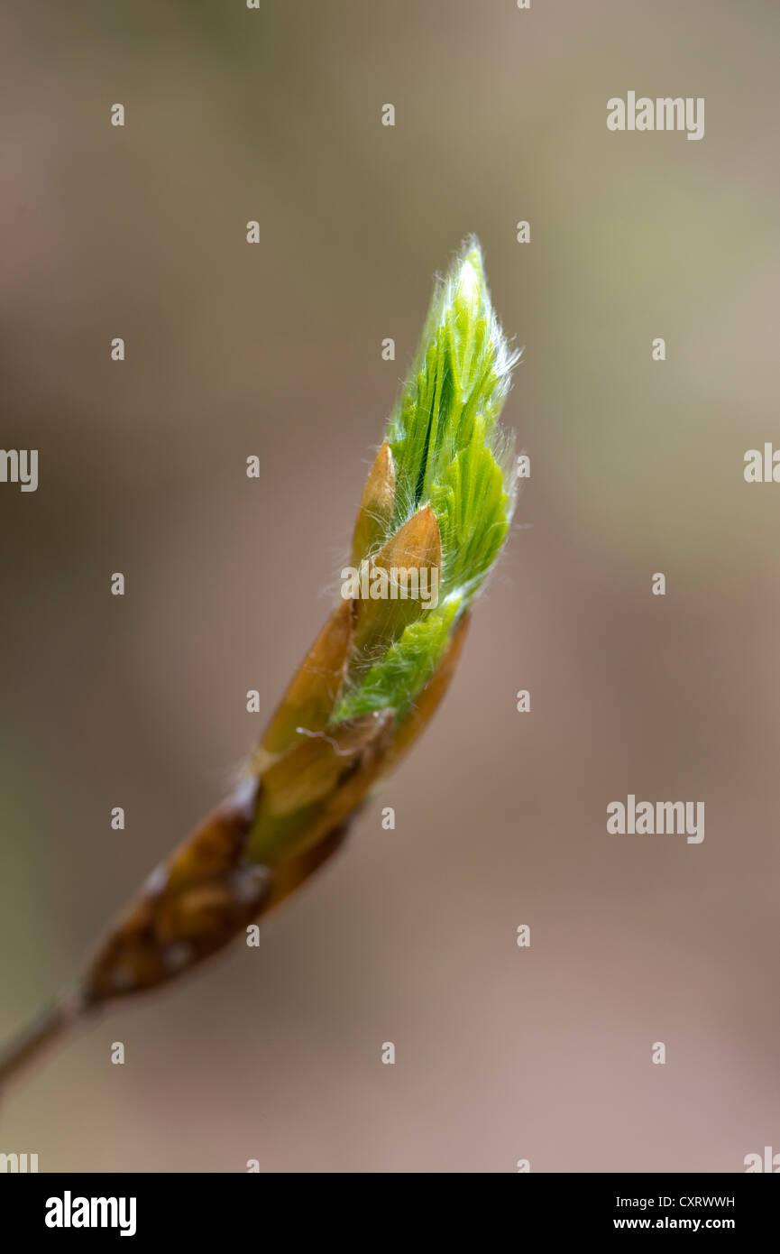 European beech (Fagus sylvatica), bud, Kellerwald-Edersee National Park, Hesse, Germany, Europe Stock Photo