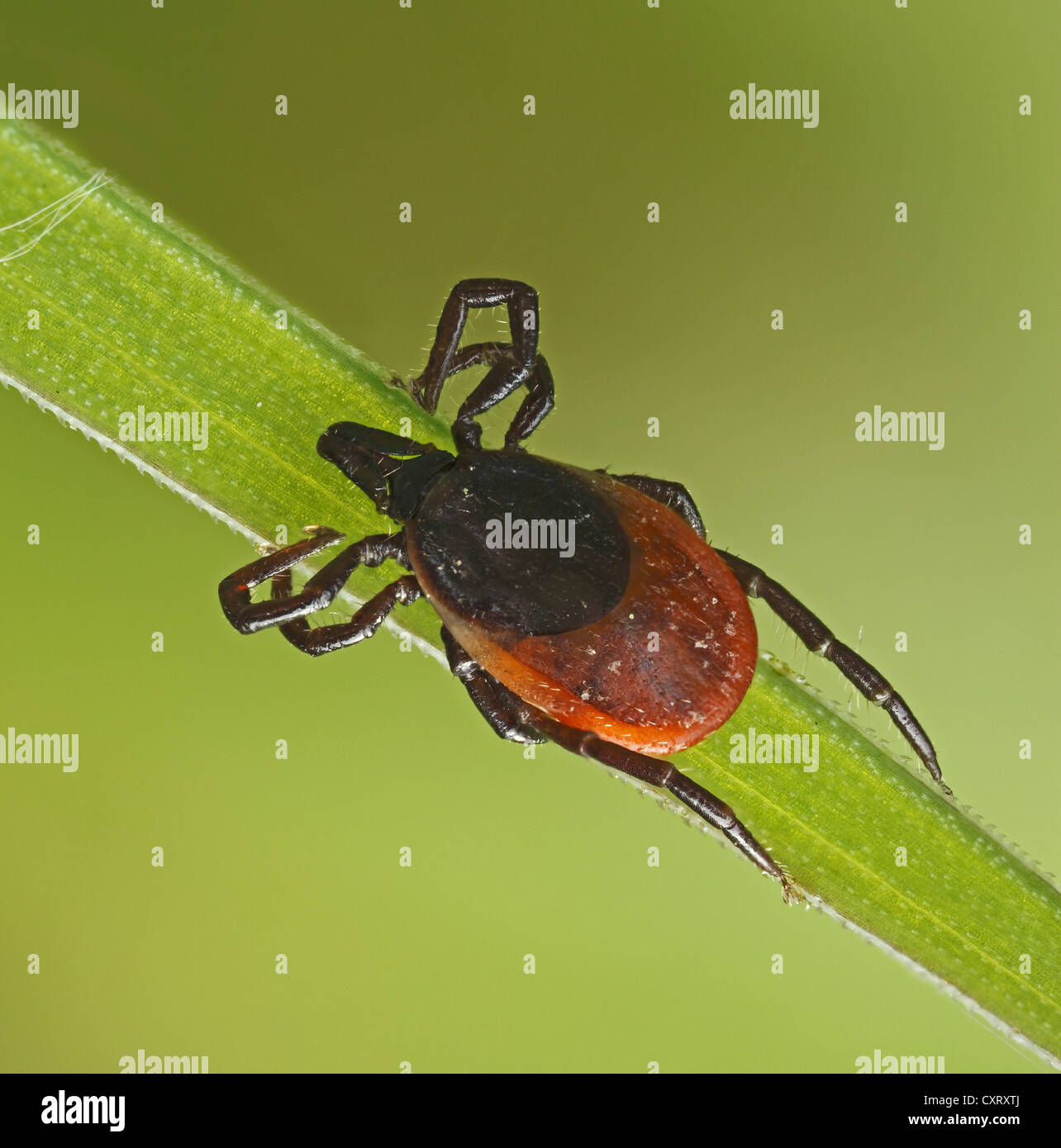 Castor Bean Tick (Ixodes ricinus) on a blade of grass, Hesse, Germany, Europe - Stock Image