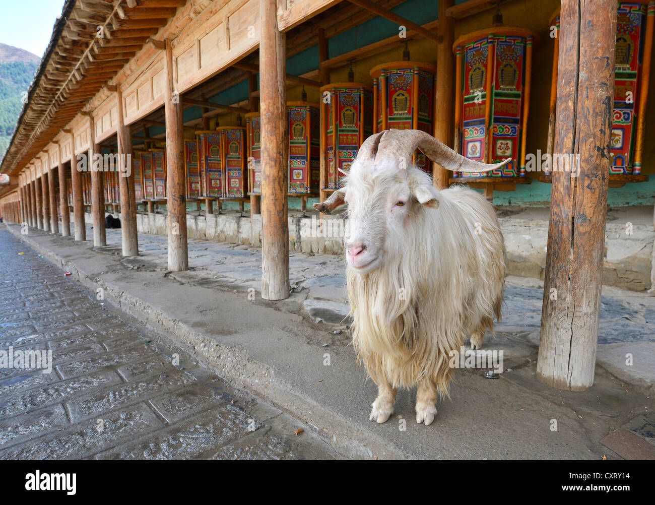 Ram standing in front of the prayer mills, arcade, Kora at the Labrang Monastery, Xiahe, Gansu, formerly known as - Stock Image