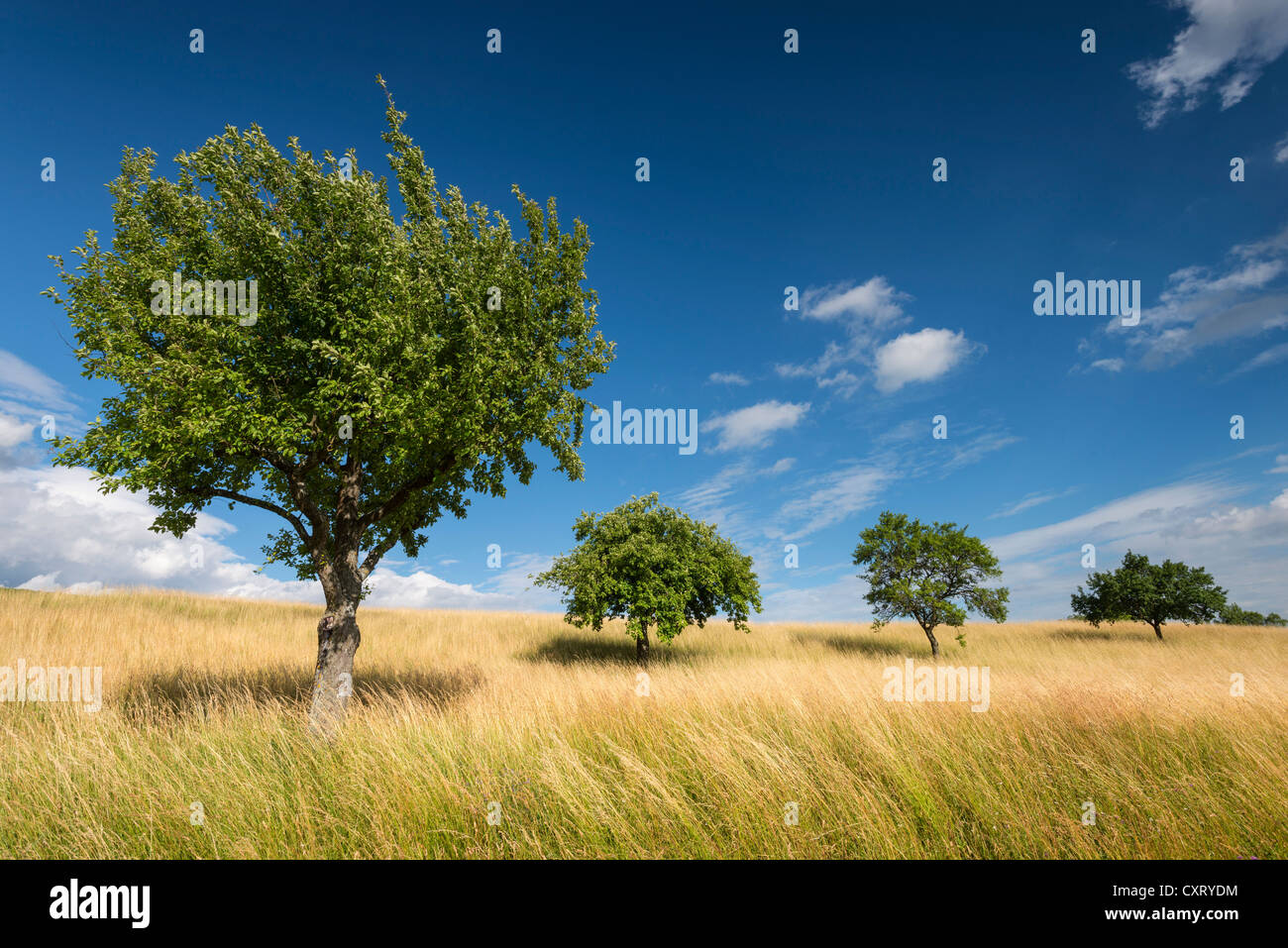 Summer, grassland with fruit trees, Hegau region, Welschingen, Baden-Wuerttemberg, Germany, Europe - Stock Image