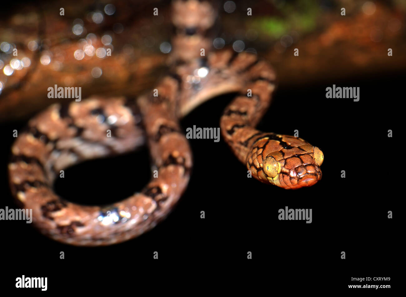 Madagascan arboreal snake (Stenophis sp.), in the rain forests of northern Madagascar, Africa - Stock Image