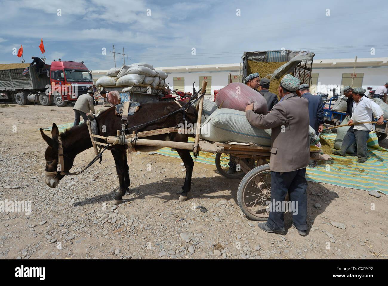 Muslim man, Uyghur with a cap loading his donkey cart with sacks of manure, fertiliser, Uyghur cattle market, Sunday - Stock Image