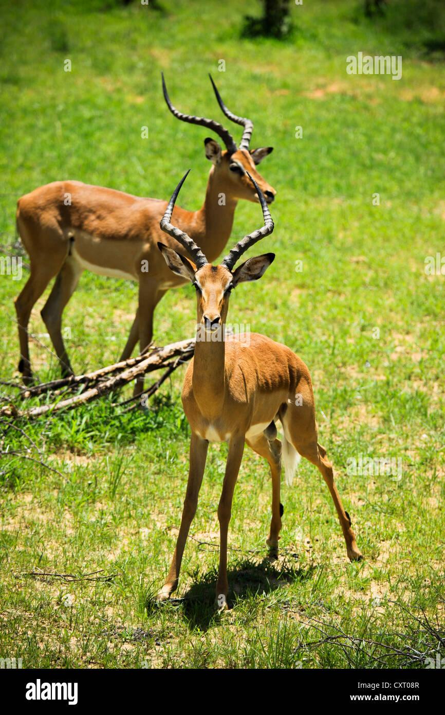 Impala (Aepyceros melampus), Bwabwata National Park, Caprivi National Park, Mahango National Park, Caprivi, Namibia, - Stock Image