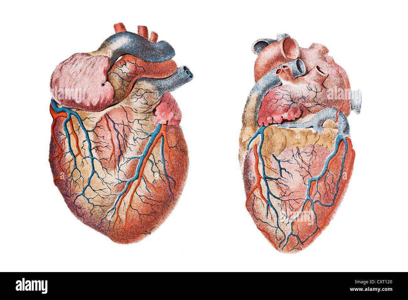 Anatomical Drawing Heart Stock Photos Anatomical Drawing Heart