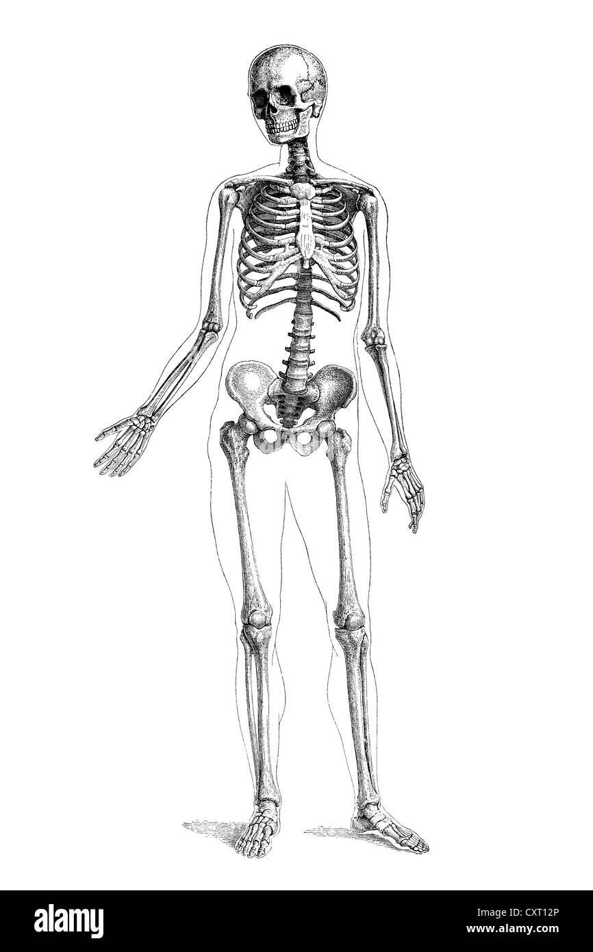 Anatomical Black And White Stock Photos Images Alamy