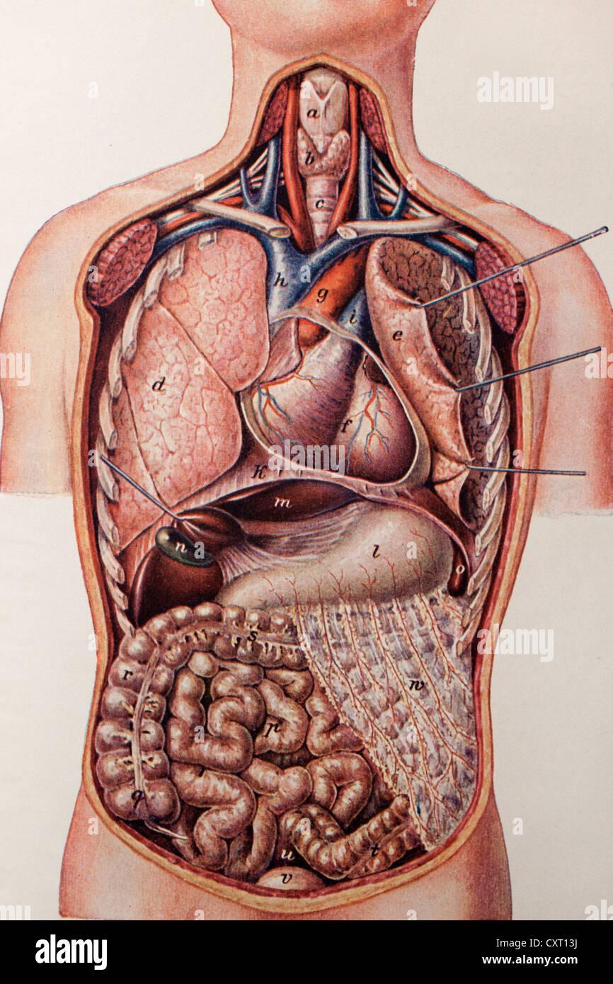 Longitudinal section of a human torso, anatomical illustration - Stock Image