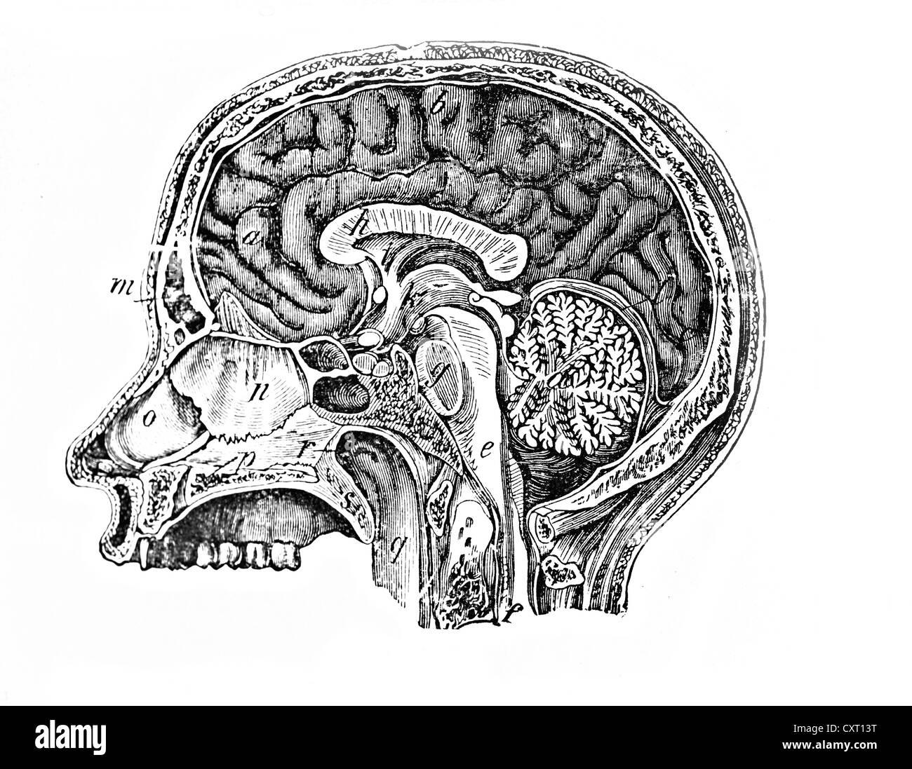Longitudinal section of a human head, anatomical illustration - Stock Image