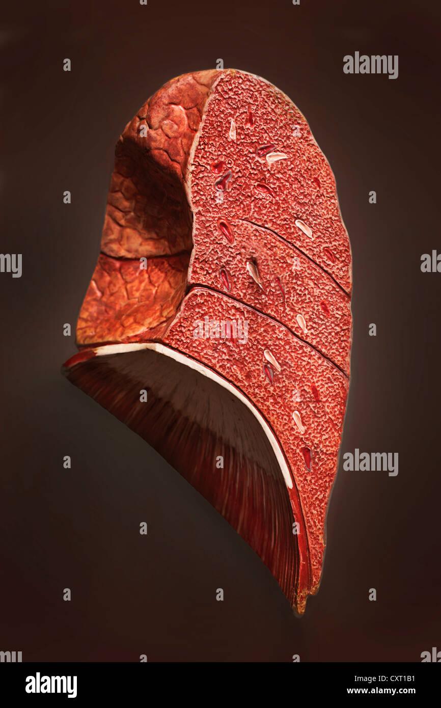Human lung, illustration - Stock Image