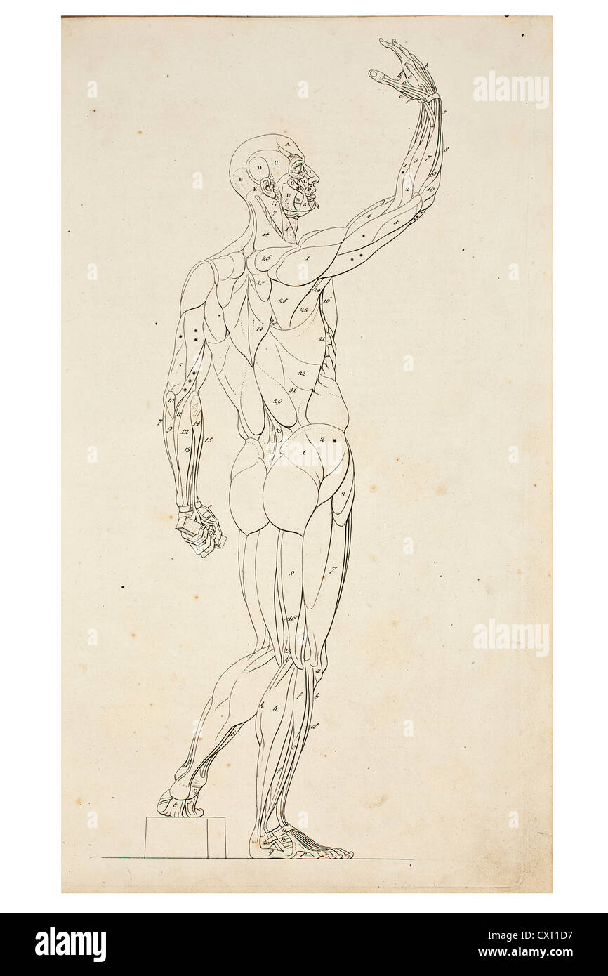 Anatomical Drawings Muscles Stock Photos & Anatomical Drawings ...