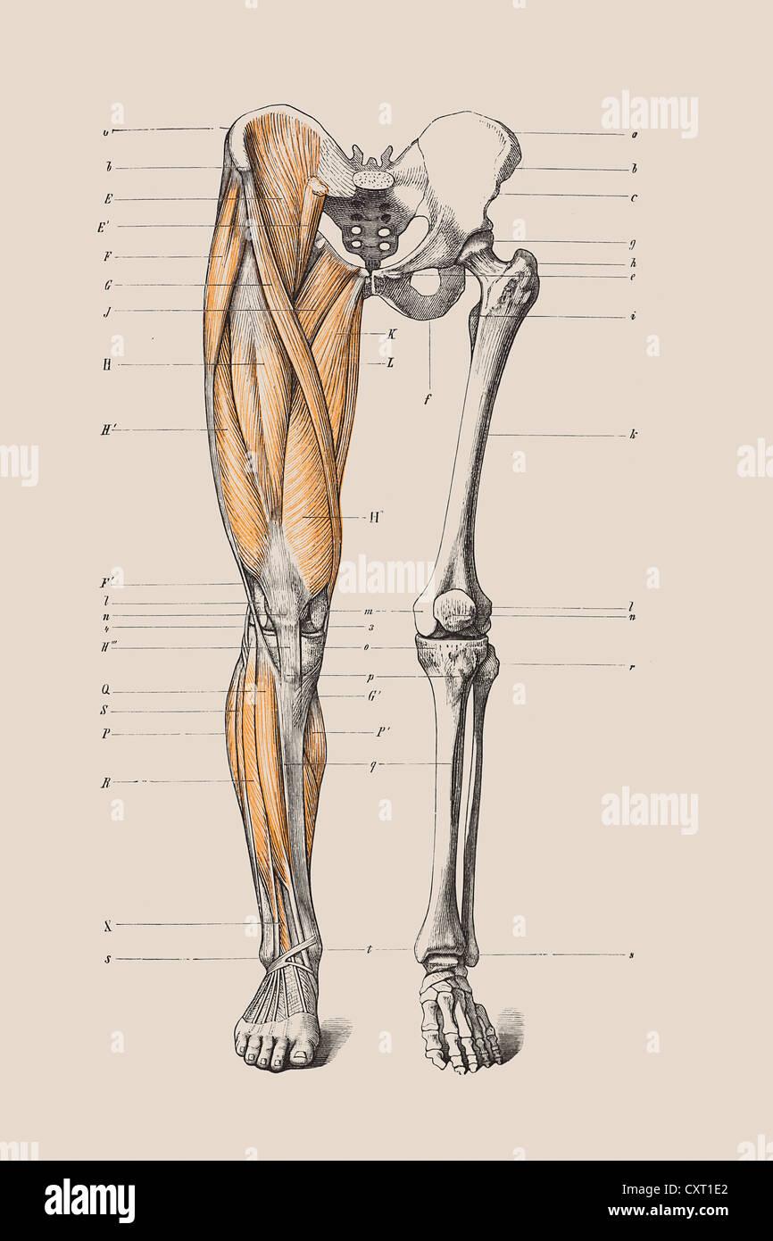 Skeleton Of A Human Leg Anatomical Illustration Stock Photo