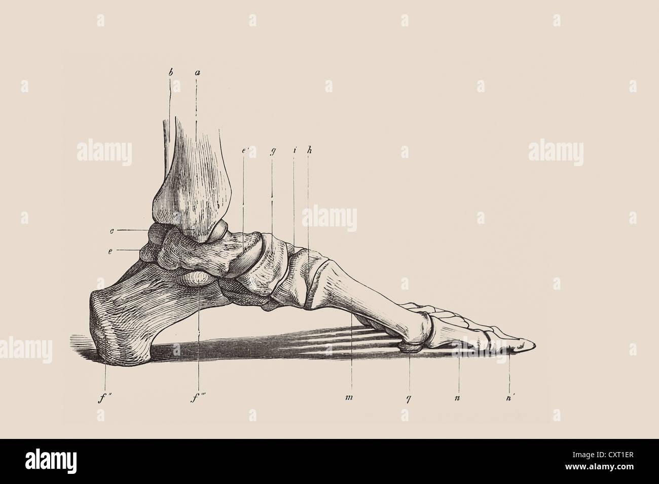 Skeleton Of A Human Foot Anatomical Illustration Stock Photo Alamy