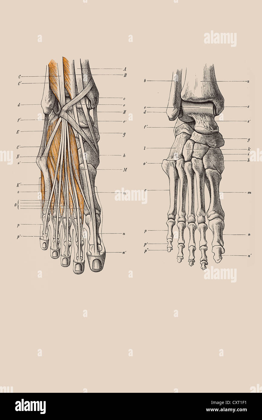 Anatomy Foot Drawing Stock Photos & Anatomy Foot Drawing Stock ...