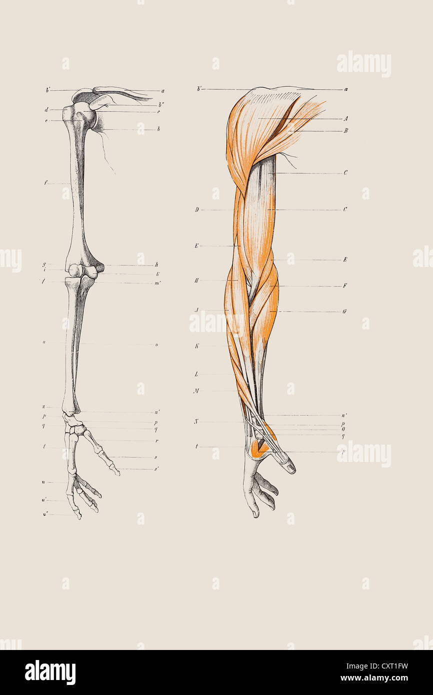 Anatomical Anatomy Arm Arms Stock Photos Anatomical Anatomy Arm
