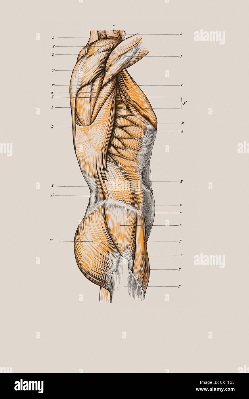 Muscle Structure Of The Torso Anatomical Illustration Stock Photo