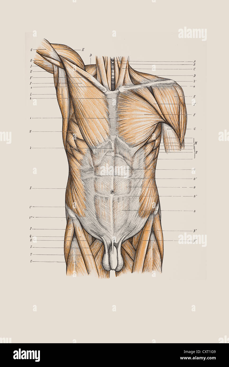 Muscle structure of the torso, anatomical illustration Stock Photo ...