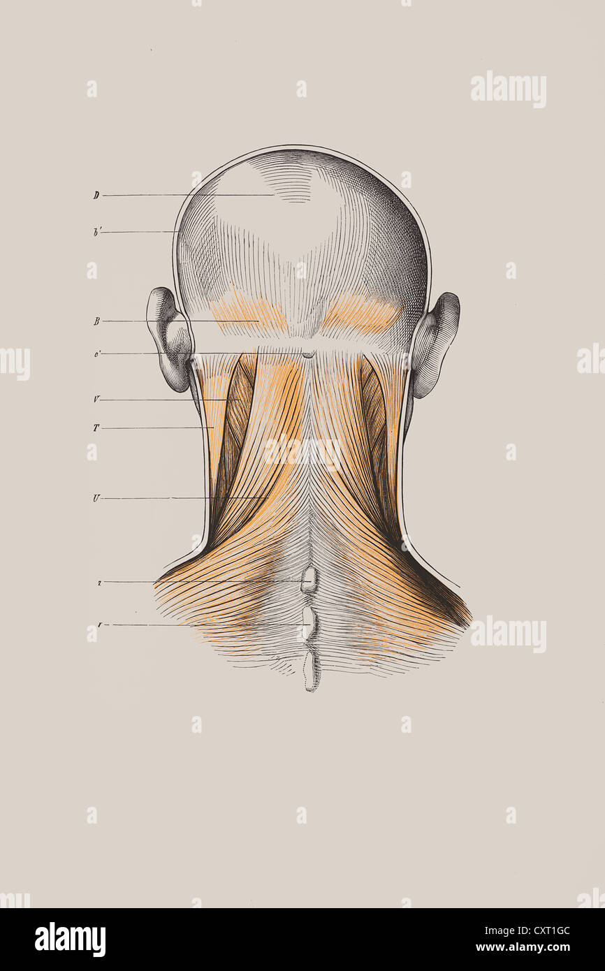 Skull With Muscle Structure Anatomical Illustration Stock Photo